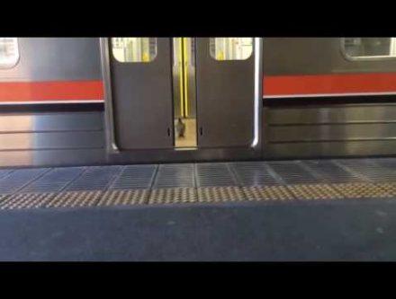 ハトが電車通勤する動画
