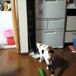 猫の面白い動画。きゅうりに驚き過ぎる猫
